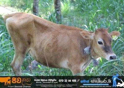 cow3 2 1