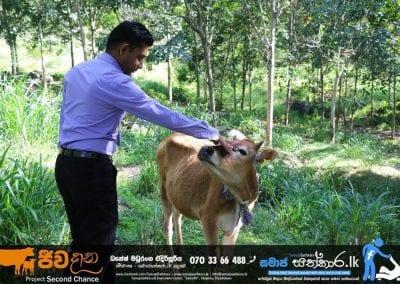 cow3 3 1
