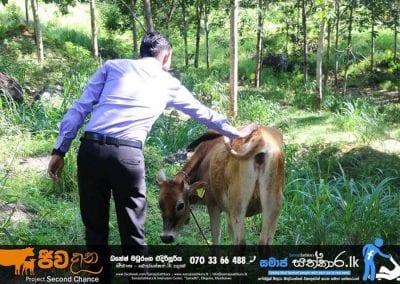 cow3 4 1