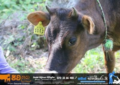 cow4 1