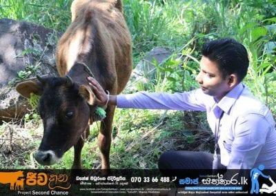 cow4 6