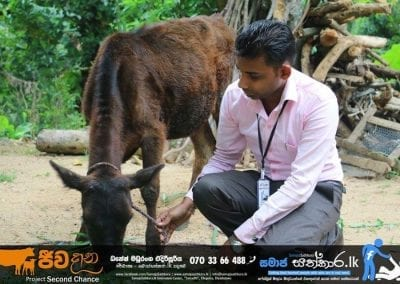 cow2 1
