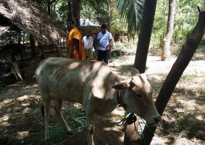 cow10 12
