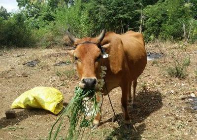 cow12 14