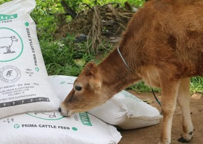 cowfeed1 9