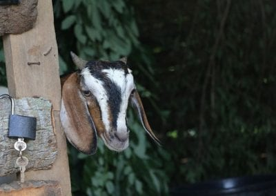 goat2 10