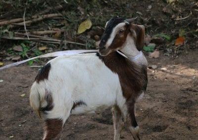 goat2 11