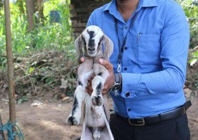 goat2 14