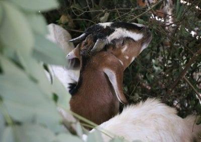 goat2 16