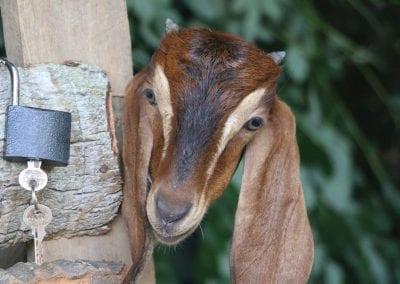 goat2 21
