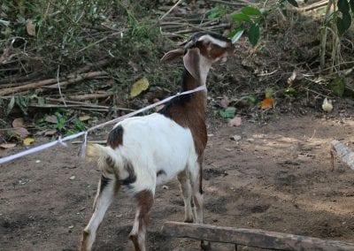 goat2 25
