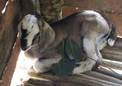 goat2 3
