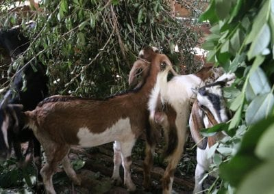 goat2 5